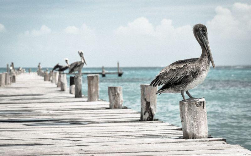 pelican_1-800x500